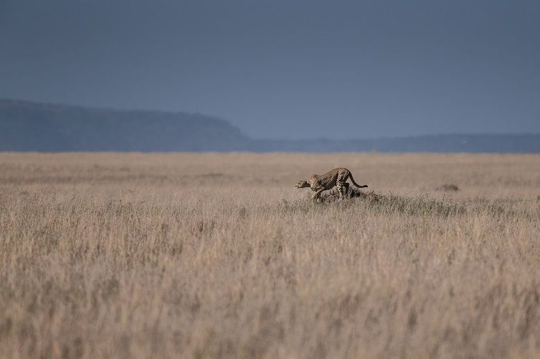 Un giaguaro in posa da caccia nella savana
