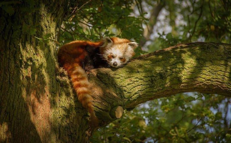 Un panda rosso assonnato dorme su un albero illuminato
