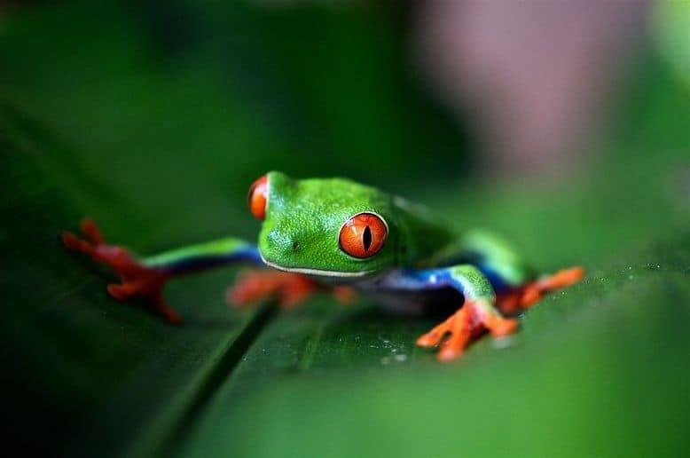 Una raganella verde e rossa su una foglia