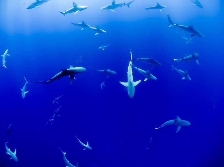 Un gruppo di squali nuota in cerchio nel mare blu